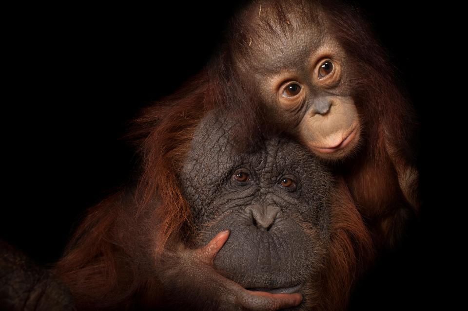 An endangered baby Bornean orangutan, Pongo pygmaeus, named Aurora, with her adoptive mother, Cheyenne, a Bornean/Sumatran cross, Pongo pygmaeus x abelii, at the Houston Zoo. © Photo by Joel Sartore/National Geographic Photo Ark.
